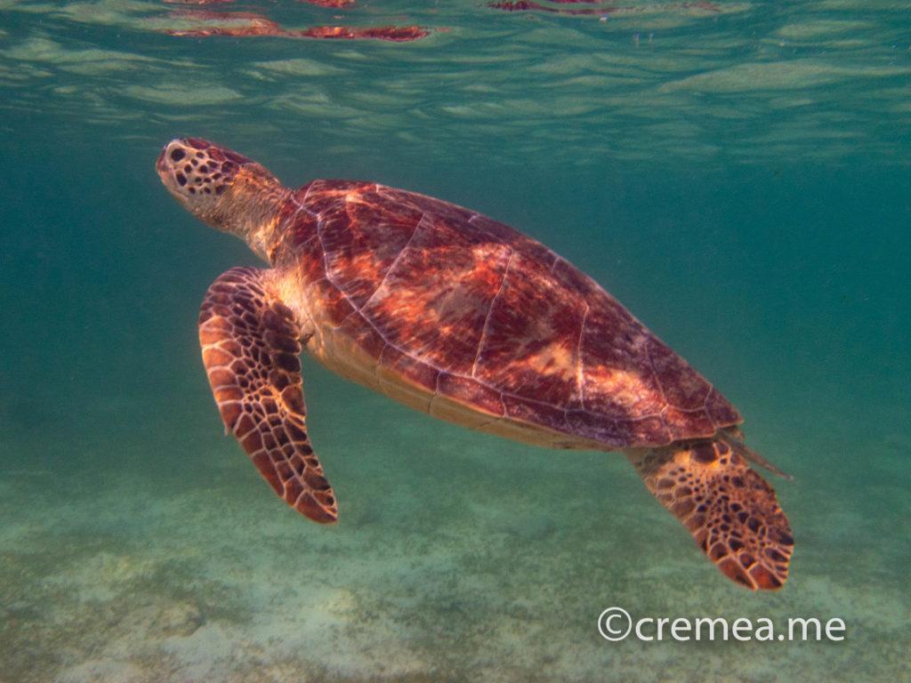 ニシ浜で一緒に泳げるウミガメ|OLYMPUS Tough TG-5で撮影